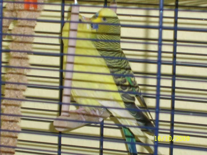 Hansi und Susi - Green Parakeet