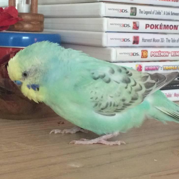 Kitkat - Male Green Parakeet (5 years)